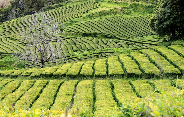 plantáž, čaj